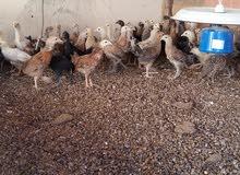 دجاج محلي عماني