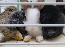 1 month Mixed Dwarfs rabbits