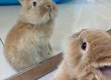 Toy Dwarf Rabbit