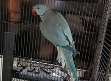Ringnick blue male