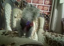 قطة رائعة سانشيلا عمر تقريبا شهرين