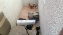 دجاجة عرب