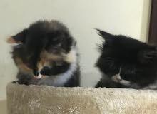 قطط شيرازي العمر 30