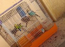 عصافير فادجو