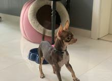 Chihuahua male 6 months for sale