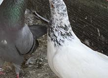 Pakistani and fancy pigeons available