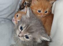 بيع قطط شيرازي الألوان الأشقر والرمادي والأسود