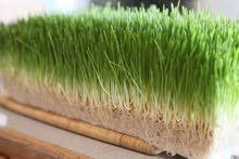 توريد اعلاف خضراء بكميات وفيرة لجميع المزارع والمربين