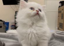 قطط مكس شيرازي برتش