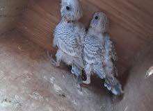 fallow Budgee (each bird 80)
