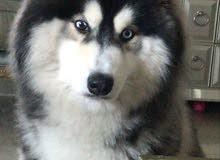 كلب Siberian Husky