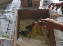 lovebird babies for sale