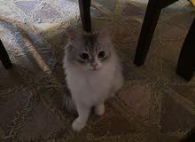 قطة انثى غير منتجة
