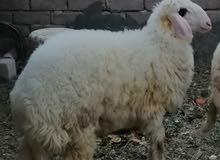 خروف للبيع سمين ومعلوف طاك براسه العلم