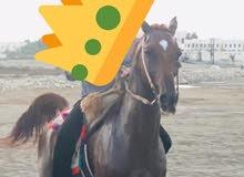 حصان عربي جوازي موجود