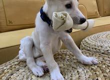 Labrador Saluki Crossbreed for sale لابرادور سلوقي للبيع بداعي السفر