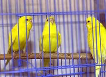 طيور لاتينو