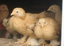 دجاج الكوشن العملاق