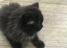 قطط من اب هملايا وام شيرازي