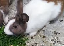 ذكر ارانب