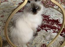 قطة أليفة