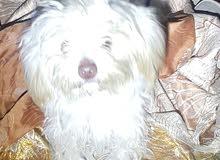 كلب تيرير فول تدريب ولعوب اقره الوصف