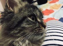 قطه شيرازي مكس شانشيلا