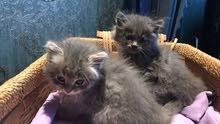 قطة أنثى   حبوبه العمر شهرين