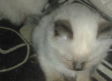 قطاطيس سيامي