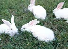 للبيع 4 حبات ارانب