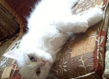 pure white shirazi female (11 month)  for urjent sell