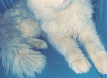 قطه شيرزيه انثى عمرها 11 شهر هاديه جدآ مع اغرضها كامله