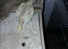 جوز كوكتيل لاتينو,,شغال,اليوم.حط.البيضه.3,, وصورة,فرخ,من انتاجه