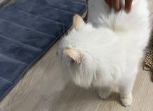 قطه راغدول ميكس
