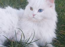 قطة بيضاء كل عين لون للبيع