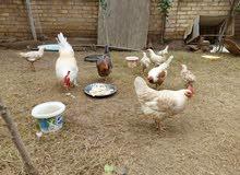 دجاج وبط للبيع