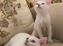 2 white british shorthair