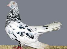 any one selling this pigeon please let me know i want to buy