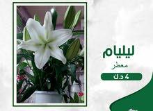 ليليام ابيض - white lilium