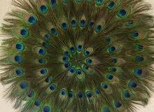 تعليقة ريش طاووس للبيع