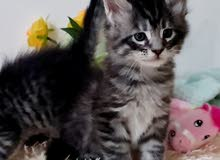 10000dhs fixed price pure maine coon silver kitten with pedigree