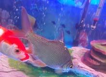 سمك زينةكبير للبيع