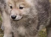 مطلوب ذىب جرو للبيع العمر صغير ذئب