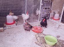 ديك ودجاجة كوجن اقزام