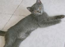 قطط سكوتش ستريت(لحق عالباقي)