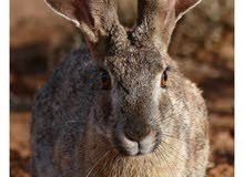 مطلوب ارانب برية