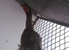 للبيع دجاجه منتجه باكستانيه