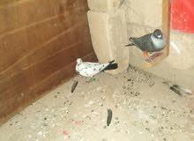 طيور للكش