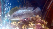 """Parrot fish 6"""" and grey Cichlid 7"""""""