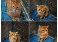 تزاوج قط شيرازي بيرشن اشقر وبني العمر سنتين